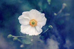 anemone-3616880_960_720